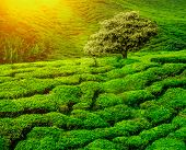 picture of cameron highland  - Lonley tree on tea plantation in the Cameron Highlands - JPG