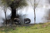 pic of pig  - Pigs eat drink and get dirty in the swamp - JPG