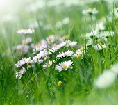stock photo of daisy flower  - Daisy flowers in spring grass close up - JPG