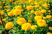 image of glorify  - marigold flower for sell on market in Thailand - JPG
