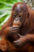 foto of orangutan  - Orangutan in the jungle of Borneo, Malaysia ** Note: Shallow depth of field - JPG
