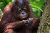 picture of orangutan  - Orangutan in the jungle of Borneo, Malaysia ** Note: Shallow depth of field - JPG