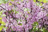 stock photo of judas tree  - Judas tree flower  - JPG