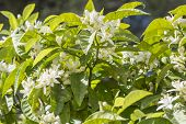 picture of orange blossom  - Orange blossoms in spring, also called azahar.