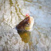 foto of chub  - Catch of fish - JPG