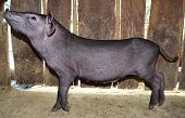 stock photo of pot-bellied  - Little black pig is look side view - JPG