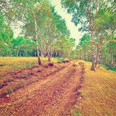 foto of dirt road  - Dirt Road in a Birch Forest in Italy Instagram Effect - JPG