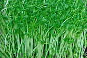 stock photo of bean sprouts  - fresh green bean sprout in growth at greenhouse - JPG