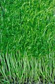 picture of bean sprouts  - fresh green bean sprout in growth at greenhouse - JPG