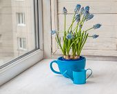 picture of nod  - Blue muscari in blue cup with decorative watering can on the window  - JPG