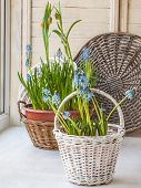 pic of nod  - Cultivation muscari and fritillaria in pots and in the rural baskets on the balcony window - JPG