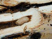 pic of larvae  - Papua jungle - JPG