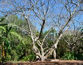 stock photo of baobab  - Old baobab tree in lush tropical setting in Florida with branches spreading out and green grass around - JPG