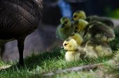 image of mother goose  - Adorable Newborn Goslings Staying Close to Mom - JPG