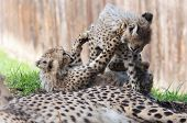 picture of cheetah  - Two cheetah cubs enjoy play time  - JPG