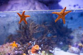 pic of starfish  - Two starfish floating in a tank with coral at the aquarium - JPG