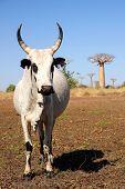 stock photo of zebu  - White zebu among the baobab trees in Madagascar - JPG