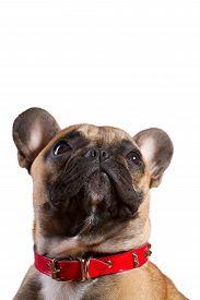 stock photo of saddening  - Brown French Bulldog isolated on white background - JPG