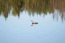 picture of loon  - lonely loon on the lake in the woods - JPG