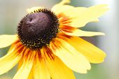 picture of prairie coneflower  - Rudbeckia Susanna flower yellow coneflower orange garden - JPG