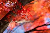 image of fall leaves  - Red japanese maple leaves background - JPG