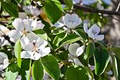 Quince Blossom Cydonia Oblonga Spring Tree Flowers poster