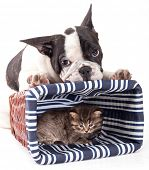 purebred French Bulldog  and little kitten poster