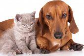 image of cat dog  - Kitten and dog dachshund - JPG