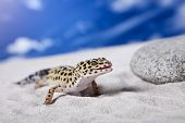 stock photo of hemidactylus  - Leopard Gecko on sand in natural environment - JPG