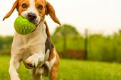 Dog Beagle Having Fun Running And Jumping With A Ball In A Garden poster