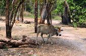 pic of starving  - Starving brown cow with bell in Cambodia - JPG