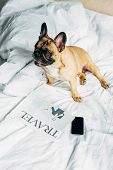 Overhead View Of Purebred French Bulldog Lying Near Smartphone With Blank Screen And Travel Newspape poster