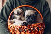 Young Man Holding Basket With Pug Dog Puppies. Little Puppies Having Fun. Breeding Dogs poster