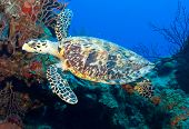 pic of sea-turtles  - A Hawksbill turtle is cruising the vibrant reef and pristine water of Little Cayman - JPG