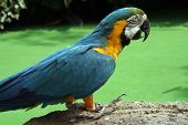 pic of polly  - Blue and yellow color parrot standing on a rocky surface - JPG