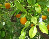 stock photo of orange-tree  - Orange tree with ripe orange fruits background - JPG