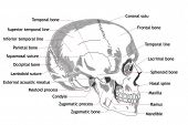 stock photo of mandible  - Human Skull Structure Anatomy Concept Hand Drawn design - JPG