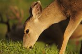 image of black tail deer  - A female Black - JPG