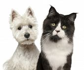Close-up of Maine Coon cat, 15 months old, and West Highland Terrier against white background