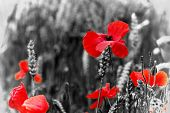 picture of fallen  - poppy  - JPG