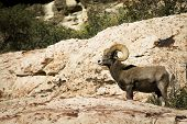 Desert bighorn sheep, Ovis canadensis nelsoni, at cliff's edge