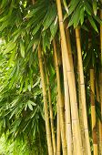 foto of peace-pipe  - Asian Bamboo forest in the late afternoon sun - JPG