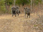 Постер, плакат: Серый волк пара прогулки