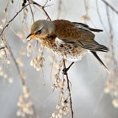 picture of brown thrush  - thrush on branch in winter  - JPG