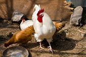 pic of leghorn  - A white leghorn rooster and a bunch of chicken on the farm - JPG