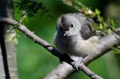 picture of fluffing  - A Young Tufted Titmouse All Fluffed Up - JPG