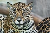 stock photo of animal nose  - Wild Leopard taken on a sunny day can be use for various wild animal concepts - JPG