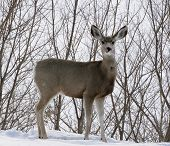 stock photo of mule deer  - A mule deer standing in the snow in front of leafless trees - JPG