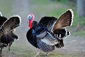 stock photo of turkey-cock  - farm male turkey outdoor - JPG