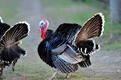 stock photo of turkey-cock  - farm male turkey outdoor - JPG